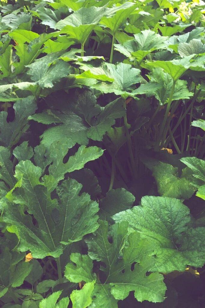 vibrant green squash plant