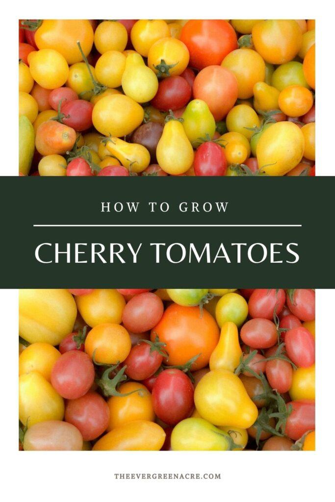 multi colored cherry tomatoes